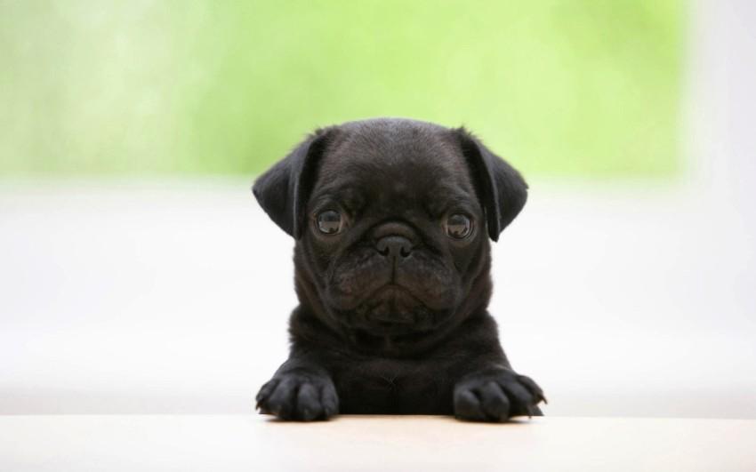 1440_Black-Pug-Puppy