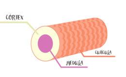 Como é a estrutura de um fio de cabelo?