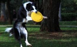 4 curiosidades sobre a raça Border Collie