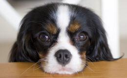 Alimentos que seu cachorro não pode comer